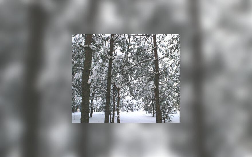 Žiema, miškas, sniegas