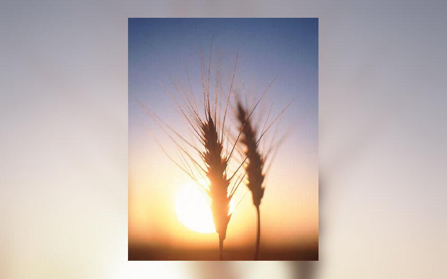 saulė, laukas, javai, žemės ūkis