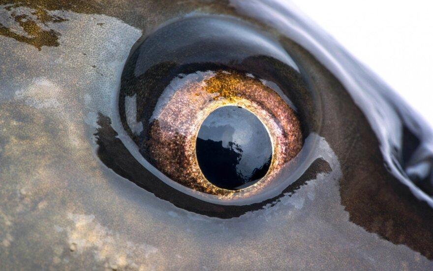 Karpio akis