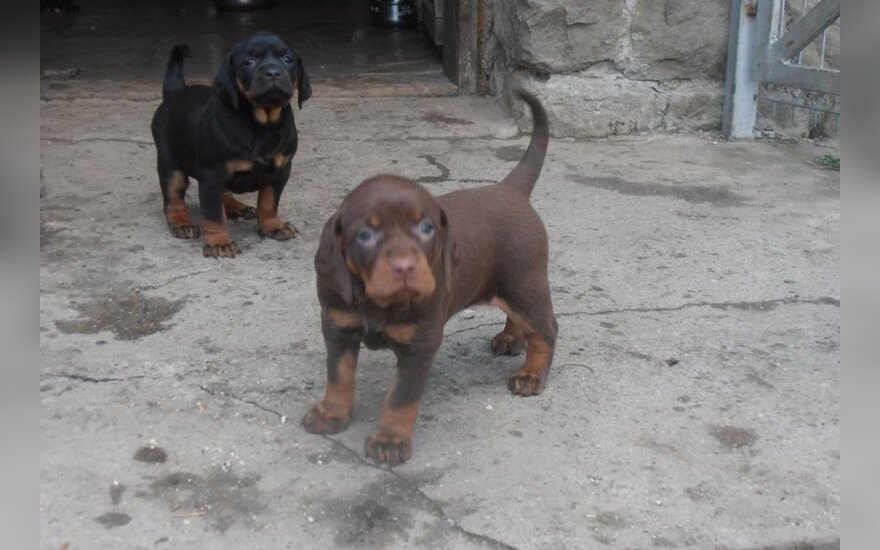 JAV esanti lietuvė per socialinius tinklus rado Lietuvoje dingusį šunį