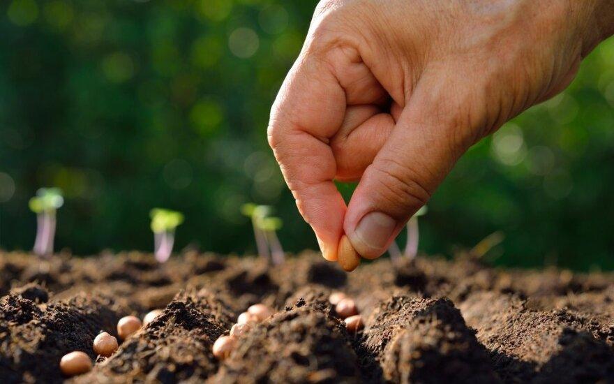 Leista parduoti prastesnės kokybės sėklas
