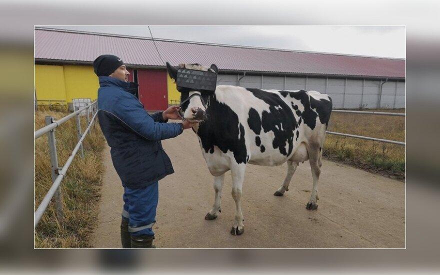 Rusai sugalvojo dar vieną būdą, kad karvės pasijustų geriau: uždėjo virtualios realybės akinius