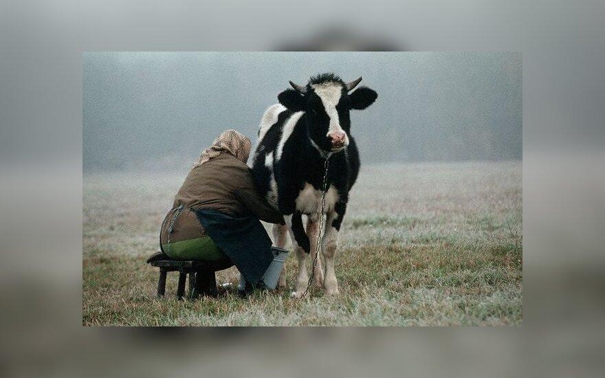 Ekologiškas pienas skiriasi nuo tiesiog kaimiško pieno