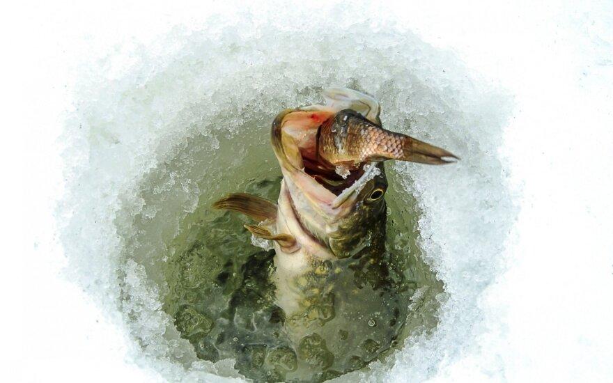 Lydekų žvejyba gyva žuvele