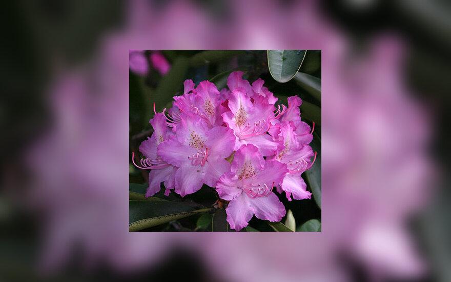 Rododendro žiedai, žydėjimas, pavasaris, gėlės