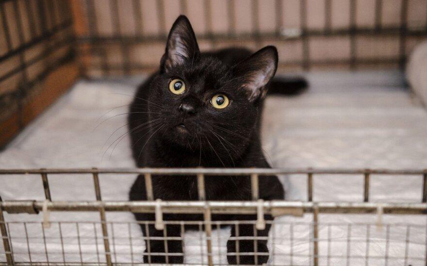 Tikras džentelmenas Blekas, pats rimčiausias iš kačiukų pulko, ieško namų