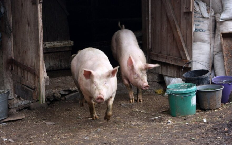 Kiaulių maras privertė traukti ekstremalios padėties kortą