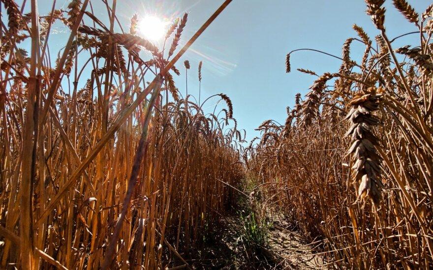 Ūkininkų aukso laikas – grūdų kaina didžiausia nuo 2013 m.