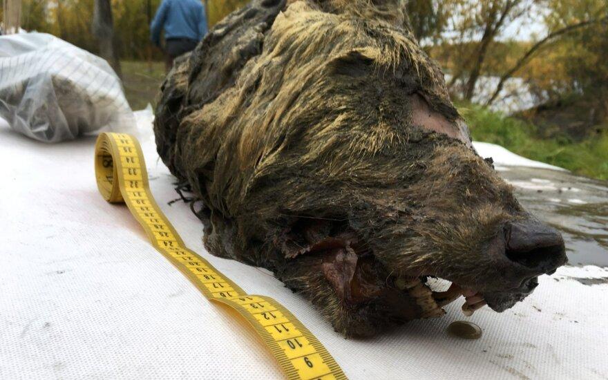 Sibire rasta prieš 40000 metų gyvenusio milžiniško vilko galva