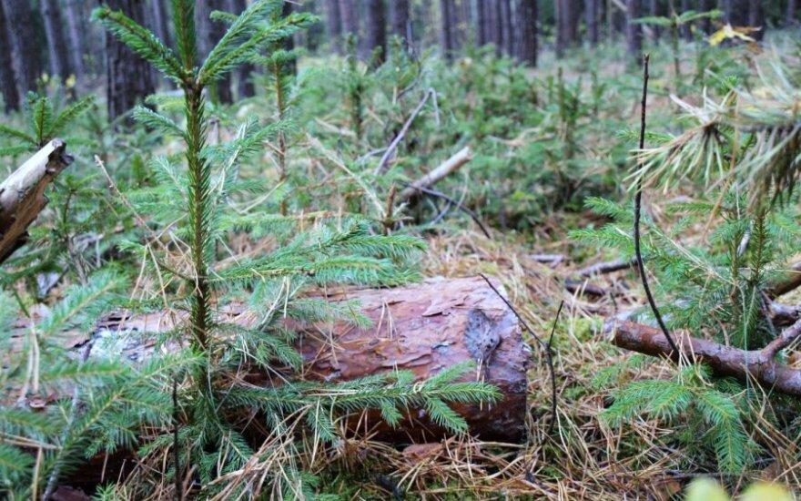 Jaunos eglutės miške