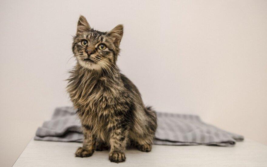 Žmonių pagalba – vienintelis šansas katinėliui Laniui likti gyvam