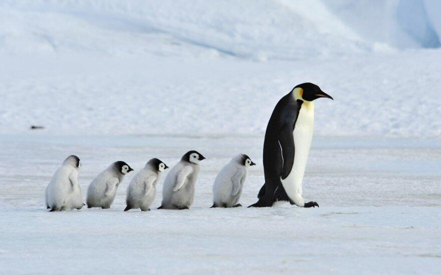 Naujojoje Zelandijoje rasta didžiulių pingvinų fosilijų