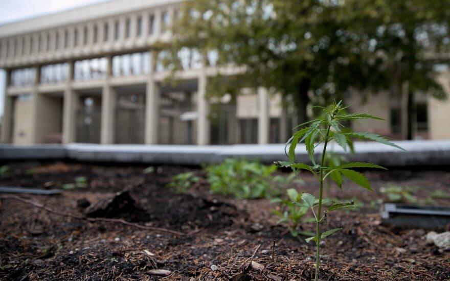 Seimas pritarė medicininių kanapių legalizavimui