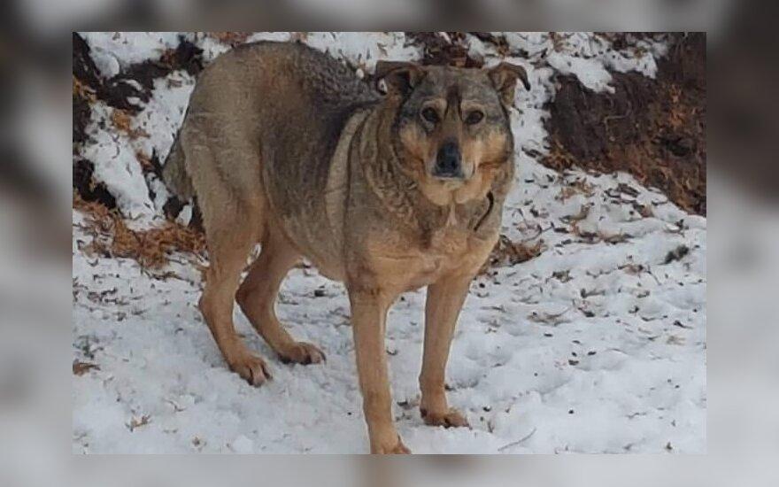 Vilniuje Naujųjų metų naktį dingo šuo Plutas