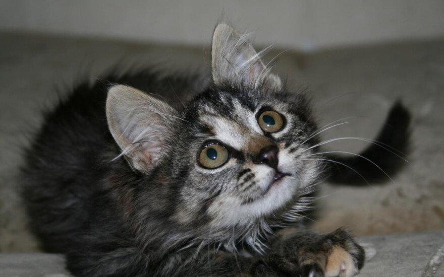 Pūkuota katytė Tropika nori rasti namus