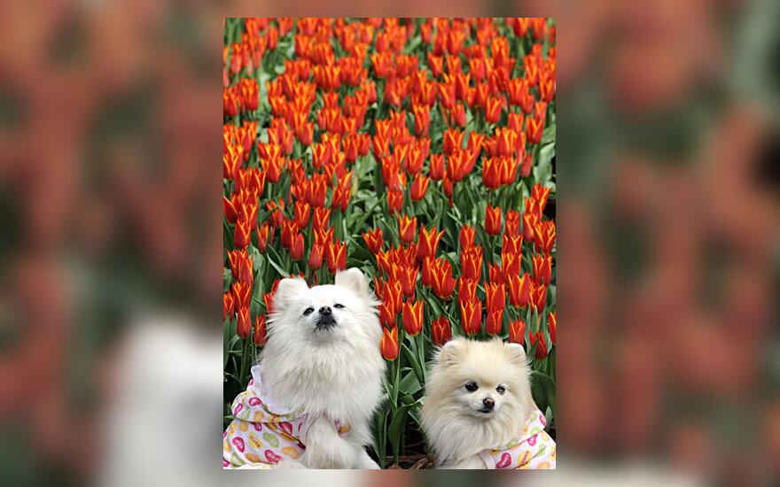 Šuniukai pozuoja prie tulpių