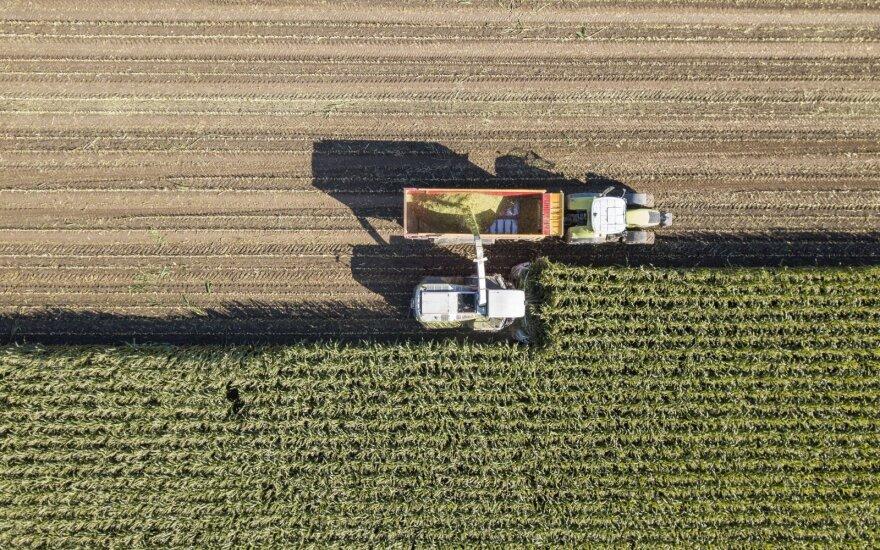 Kukurūzų derliaus nuėmimas