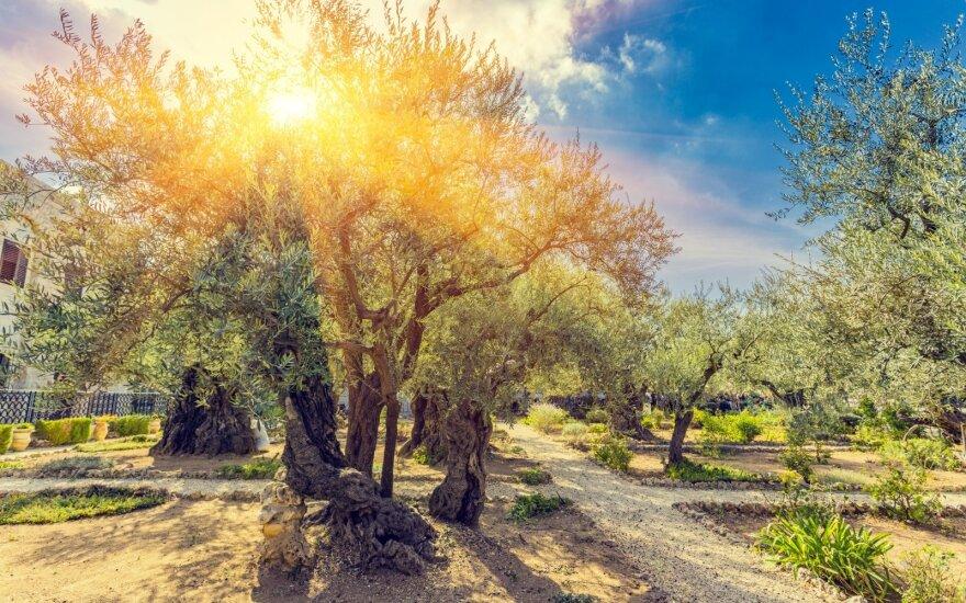 Sekmadienio Evangelija. Žmogus medyje
