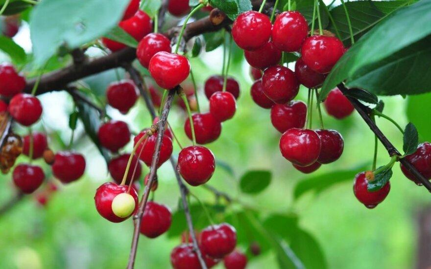Kviečia tradicinis Žagarės vyšnių festivalis