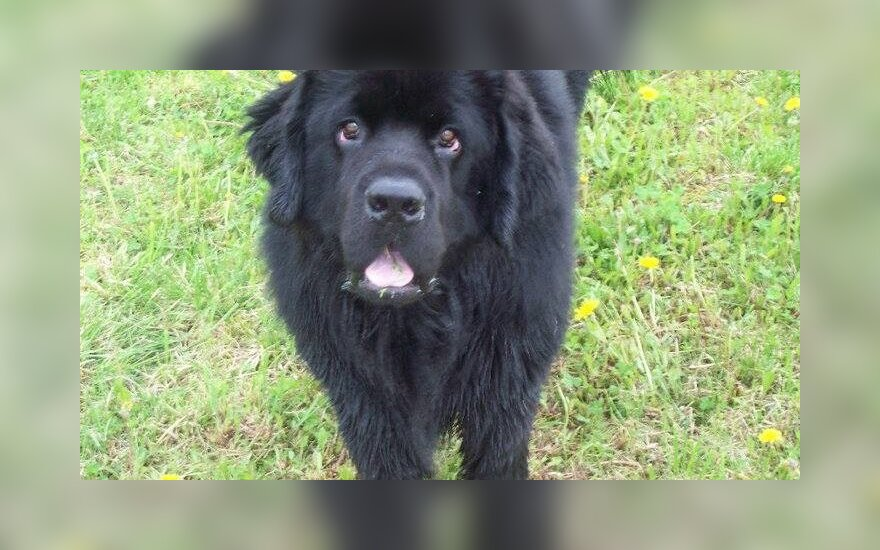 Kauno rajone dingo šuo