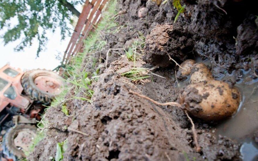 Po bulvių lupenomis laukuose - vos gimusi mergytė