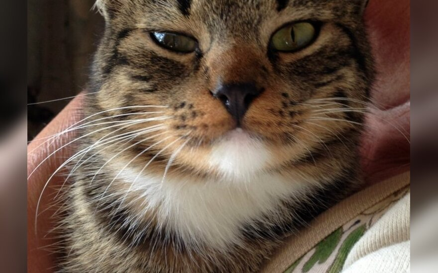 Dovanojamas nepaprastai meilus katinukas Krapas