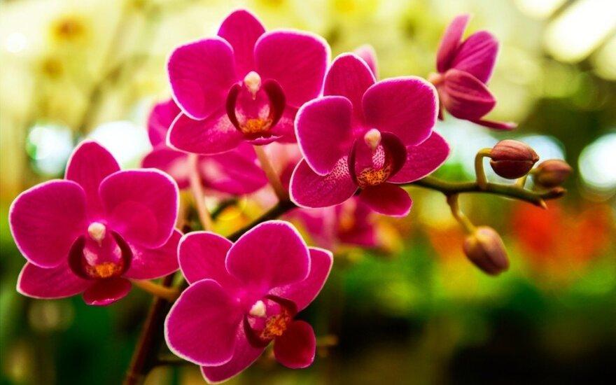 Kviečia gelbėti lietuviškas orchidėjas: joms reikia ypatingo dėmesio