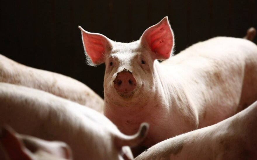 Lithuanian pig farmers ordered to register their livestock