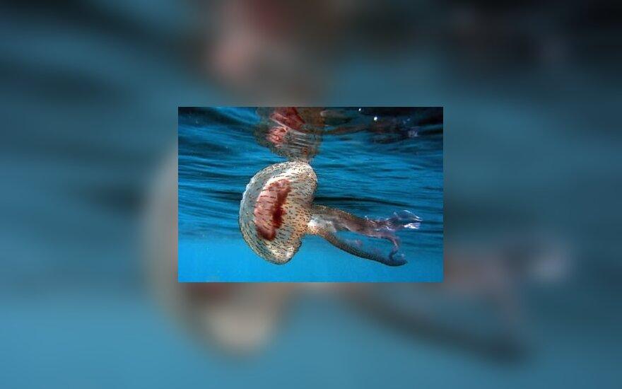 Adrijos jūroje pastaraisiais mėnesiai pastebėtas medūzų pagausėjimas vėl privertė mokslininkus susimąstyti apie globalinį atšilimą.