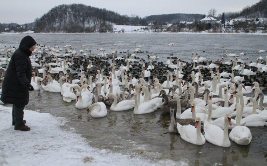 Kauno draustinis – viešuoju transportu pasiekiami rečiausi Lietuvos paukščiai