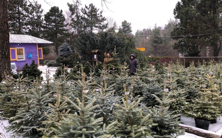 Pasiruošimas kalėdinių eglučių prekybai Valstybinių miškų urėdijos Dubravos medelyne