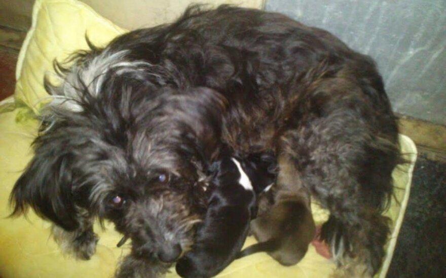 Prašome pagalbos: beglobė kalytė atsivedė šuniukus daugiabučio laiptinėje!