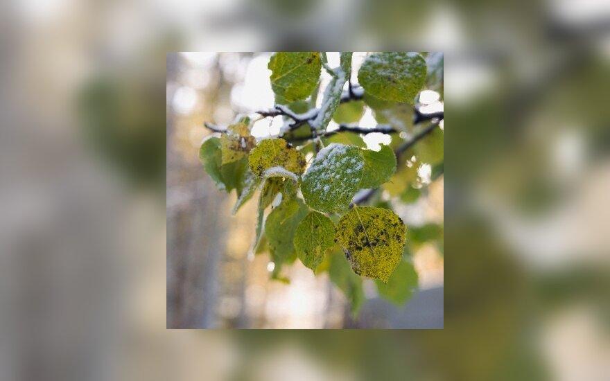 Drebulės lapai