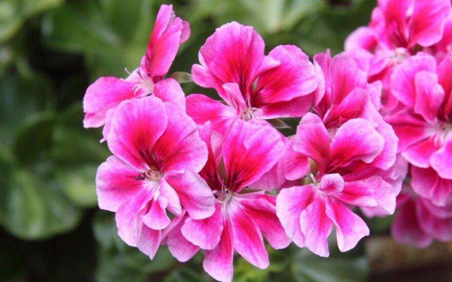Kaip paruošti žiemai begonijas, fuksijas ir pelargonijas