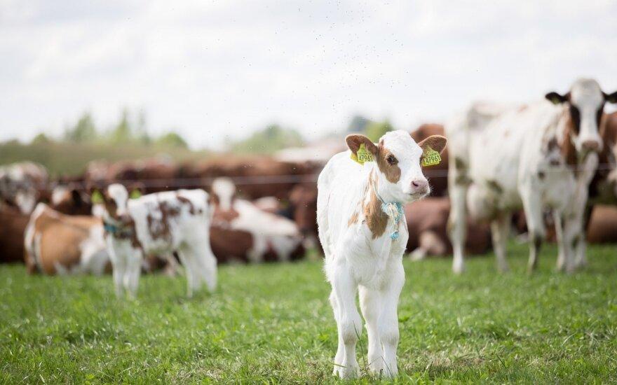 Pieno ūkių pajamas augino brangusi žaliava