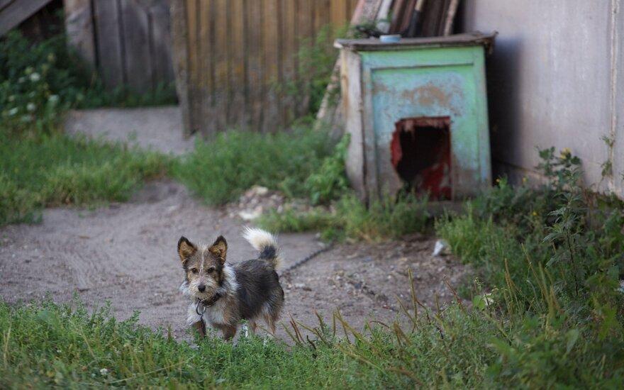 Neįtikinsite, kad kaime šunys yra laimingi: tampyti grandinę visą gyvenimą – laimė?