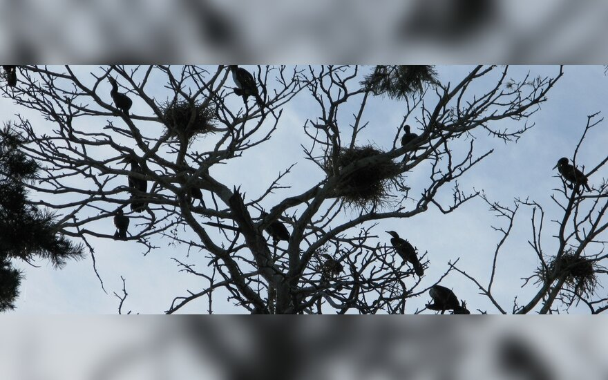 R.Žemaitaitis užsimanė pašaudyti kormoranus