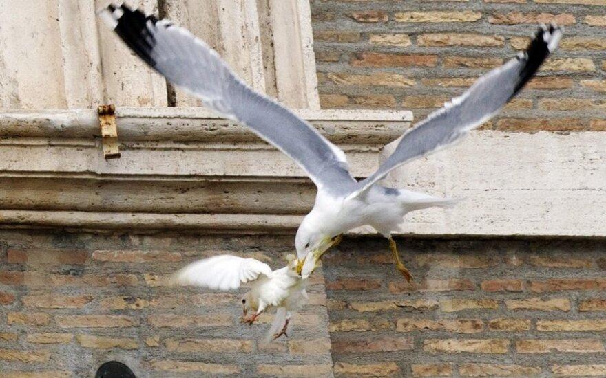 Vatikane per ceremoniją paleistus karvelius užpuolė kiti paukščiai