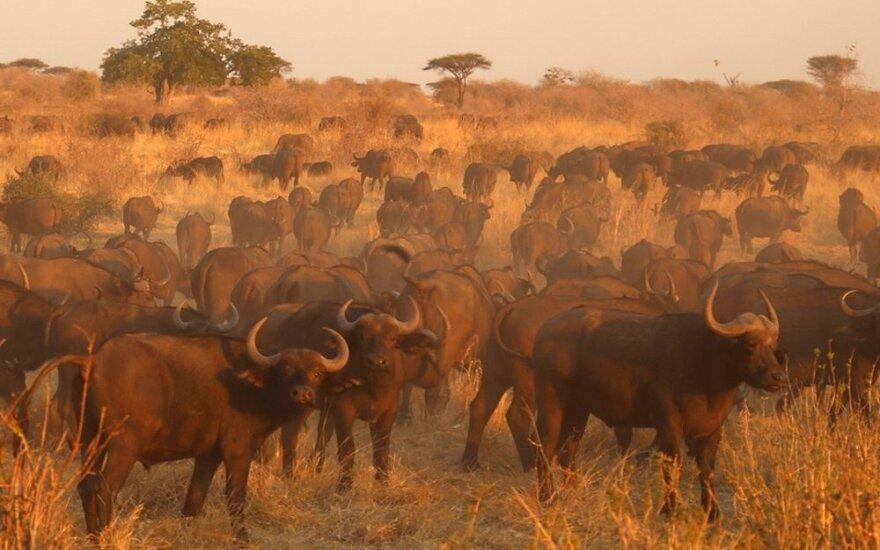 Ruahos safaris: kvapą gniaužiantis laukinių žvėrių gyvenimas iš arti