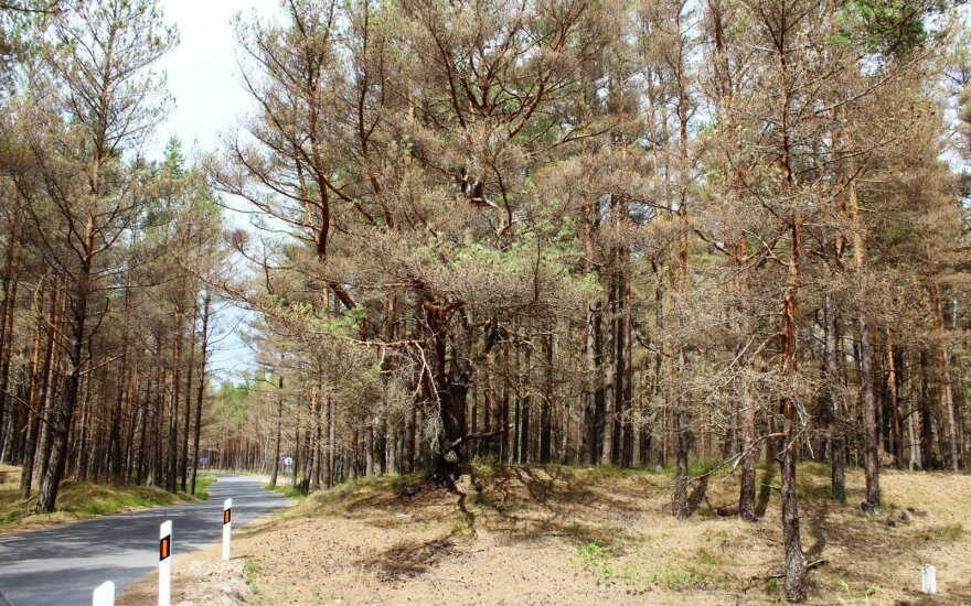 Miškai Kuršių nerijoje