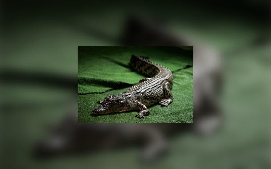 Krokodilė