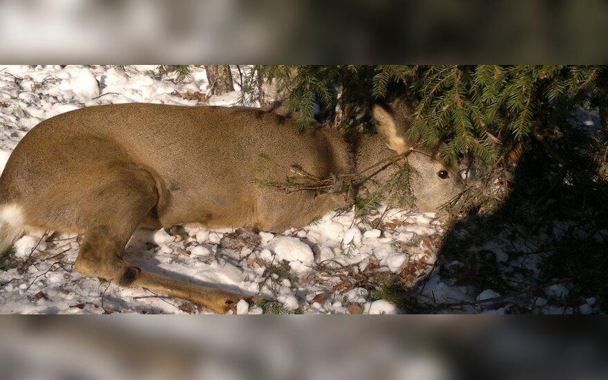 Kilpos - itin žiaurus ir draudžiamas medžioklės būdas