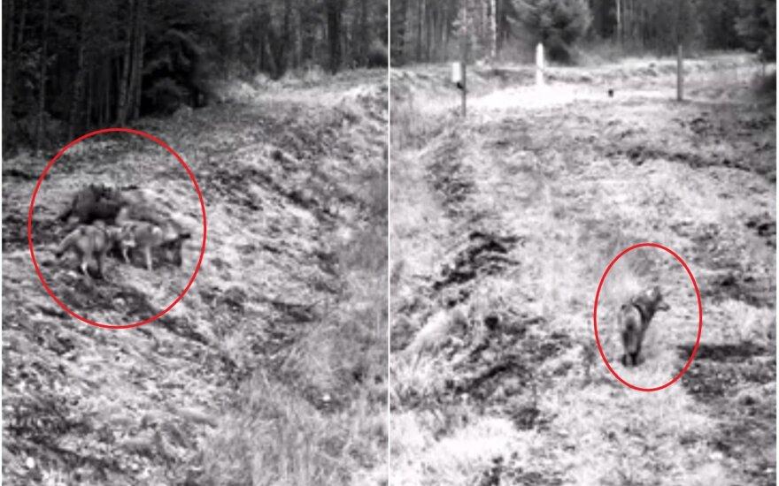 Vilkų gauja miške