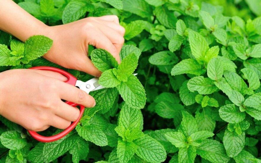 Kvapnioji mėta: naudinga sveikatai, bet tinka ne visiems