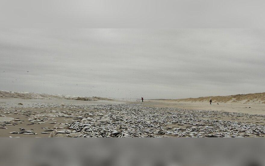 Smiltynėje nugaišusias žuvis surinko talkininkai