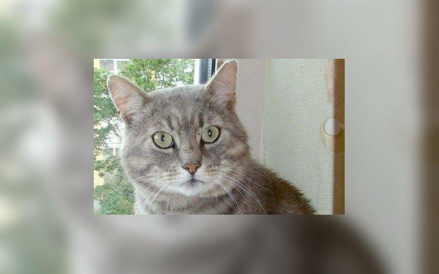 Nuostabus dūmo spalvos kailiuko savininkas katinėlis Pilkutis ieško mylinčių šeimininkų