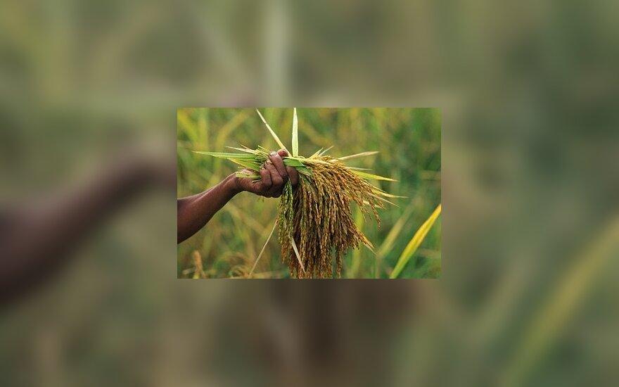 Alternatyva medienai – ryžių lukštai