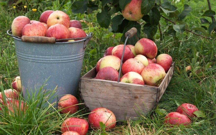 Kaip tinkamai nuskinti obuolius ir išlaikyti per žiemą