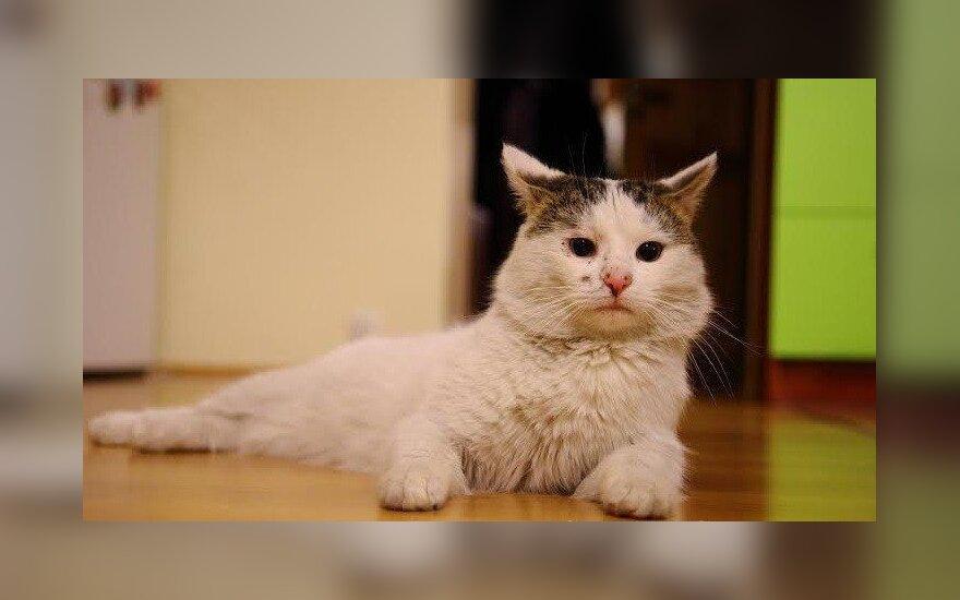 Ieškomas Antakalnyje dingęs baltas katinas Zuikutis