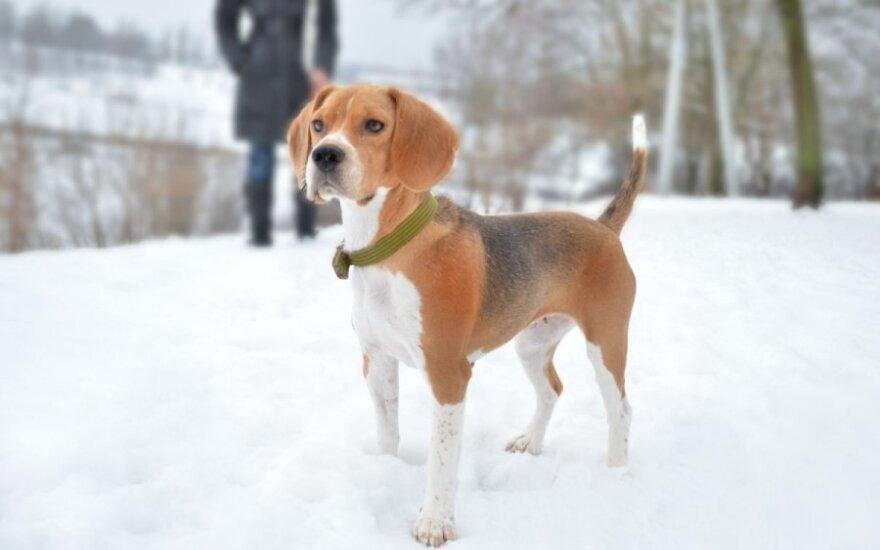 Šuniška Pelenės istorija - bigliukė Dora ieško namų!
